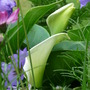White Arums just peeping through. (Zantedeschia rehmannii (Arum Lily))