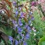 Salvia_transylvanica_blue_spires_