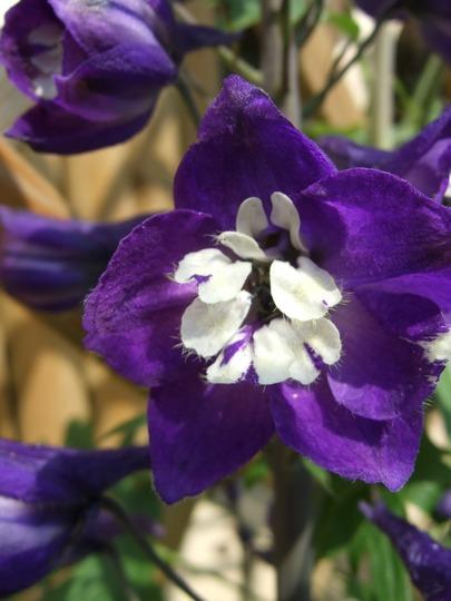 Delphinium bloom. (Delphinium)