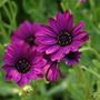"Osteospermum""Sunny Mary "" (Osteospermum jucundum {Osteospermum})"