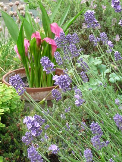 English Lavender......Hidcote (Lavandula angustifolia (Lavender))