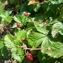 Woodland strawberries on the plant
