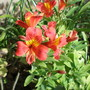 Alstroemeria moulin Rouge