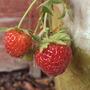 Second Season of Strawberries (Fragaria x ananassa (Garden strawberry))