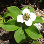 Canadian or Eastern Bunchberry (Cornus canadensis (Creeping dogwood))