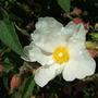White Cistus (Cistus x corbariensis)