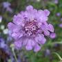 Scabiosa_v_ivid_violet_