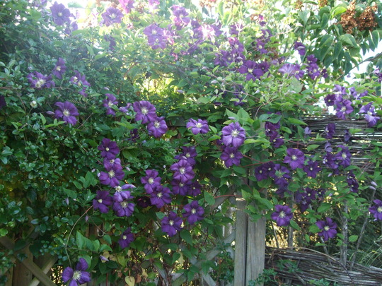 Clematis 'Etoile Violette' in full bloom. (Clematis viticella (Viticella Group clematis))