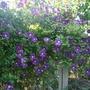 Etoile_violette_full_bloom