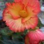 Begonia_candy_frills_