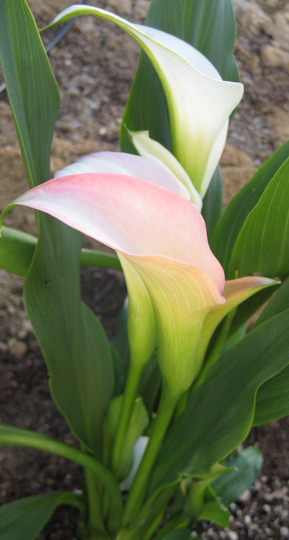 Pastel pink and cream colored Calla Lilly (Zantedeschia aethiopica (Arum lily))