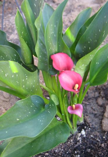 Bright Pink Calla Lilly (Zantedeschia aethiopica (Arum lily))