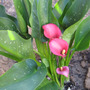 Callas_pink