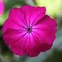 Lychnis (Lychnis coronaria (Rose campion))