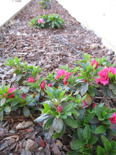 Azaleas (Camellia azalea)