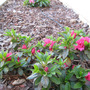 Camellia azalea