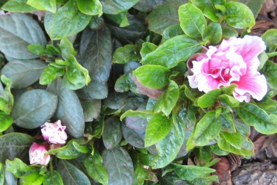 Pink and white azaleas (Camellia azalea)