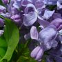 beautiful purple (Syringa vulgaris (Common lilac))