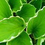 Very nice green and white plant
