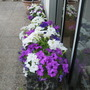 Another view of Petunias