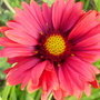 indian blanket (galliardia)