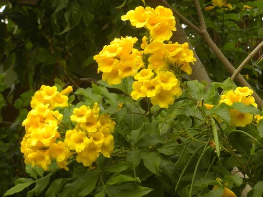Tecoma stans -  Yellow Elder Flowers (Tecoma stans -  Yellow Elder Flowers)