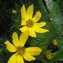 Coreopsis_grandiflora_2010