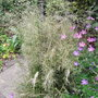 Deschampsia 'Northern Lights' - 2010 (Deschampsia 'Northern Lights')