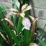 Iris_foetidissima_2010