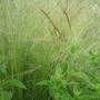 Grasses by pond