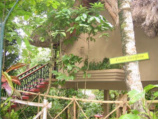 Cocos Nucifera (Camellia sinensis)