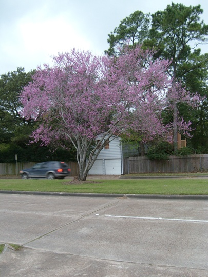 Blooming redbud at th e height of its glory.