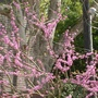 Close up of another redbud.