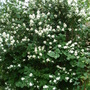 Mock Orange (Philadelphus lewisii (Mock Orange))
