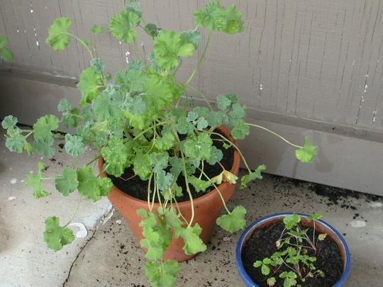 Scented-leaved geranium