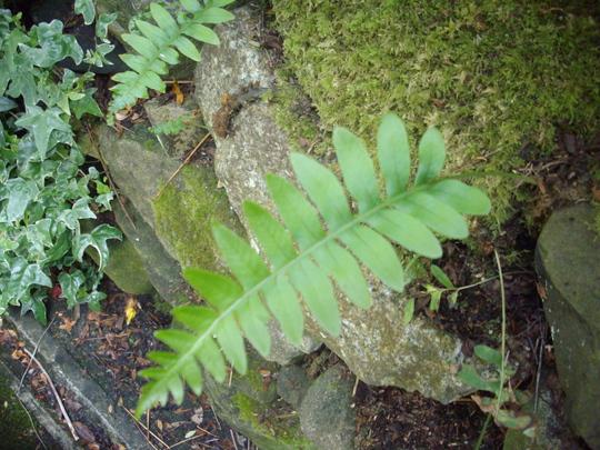 Polypodium vulgare (polypody) (Polypodium vulgare)