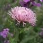 Cirsium japonicum 'Rose Beauty'' (Cirsium japonicum)