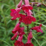 "Penstemon ""Garnet"" (Penstemon)"