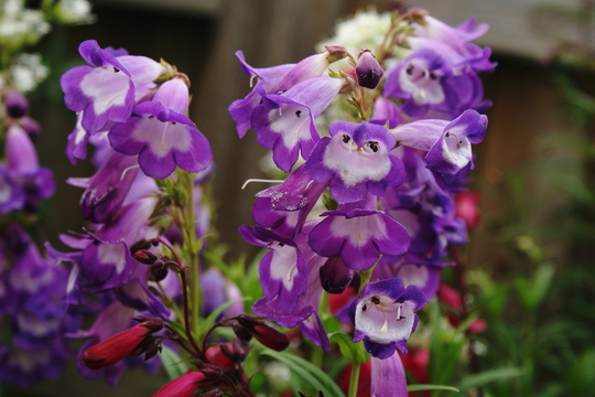 "Penstemon ""Czar"" (Penstemon heterophyllus)"