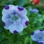 Nemophila maculata five spot. Baby blue eyes