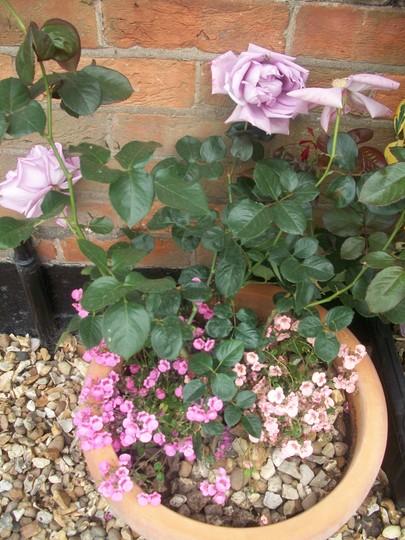 Hybrid Tea Garden Rose - Harry Edland
