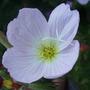 Oenothera speciosa 'Rosea' (Oenothera speciosa (Flor de San Juan))