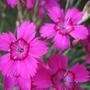 pinks (Dianthus deltoides (Dianthus Brillant))