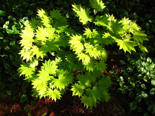 acer  'aureum'  golden full moon
