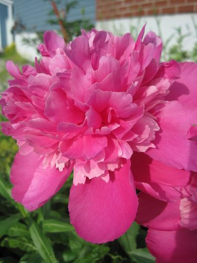 pink peony (p. lactiflora cultivar)