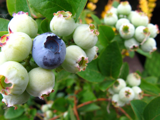Blueberry turning