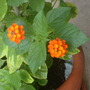 Lantana with orange and red blooms.