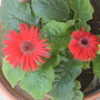 A second flower opens up on the gerbera daisy.