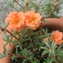 Portulaca (moss rose) doing well in the strawberry pot.