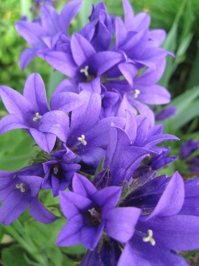 clustered bell flower (Campanula glomerata (Clustered bellflower))